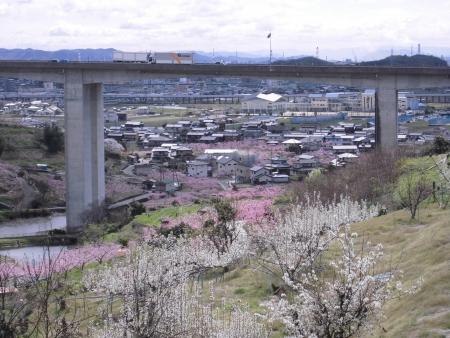 岡山県倉敷市玉島の桃畑