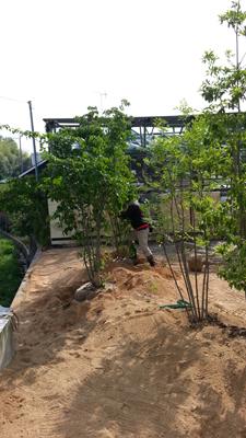 のきの住宅への植林1