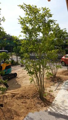 のきの住宅への植林2