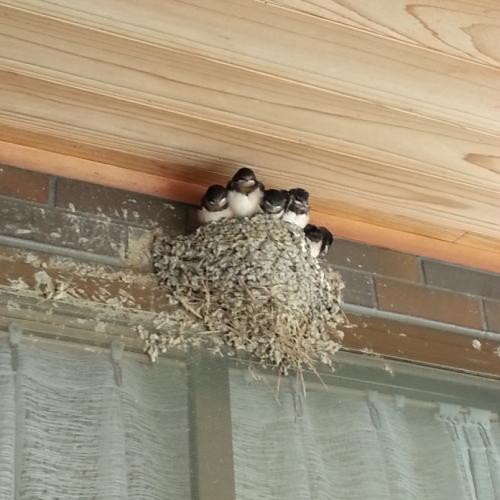 軒先のツバメの巣