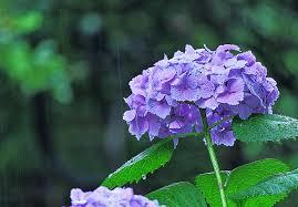 住宅工事現場近くに咲いていた紫陽花の花