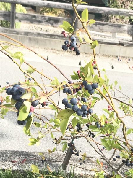 木ままの森 ブルーベリー